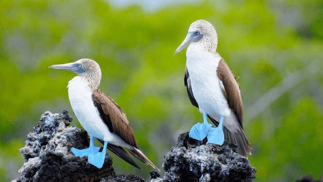 a pair of blue footed booby from Galapagos